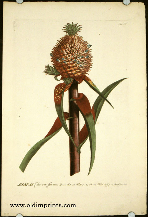 Ananas folio vix ferrato. [ANTIQUE BOTANICAL]. PINEAPPLE, Christopher Jacob Trew, Benedict Christian Vogel.