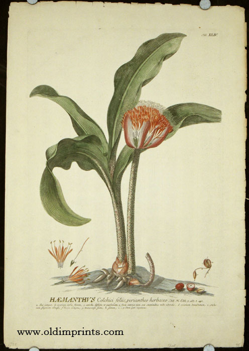 Haemanthus Colchici foliis, periantheo herbaceo. AMARYLLIS?, Christopher Jacob Trew, Benedict Christian Vogel.