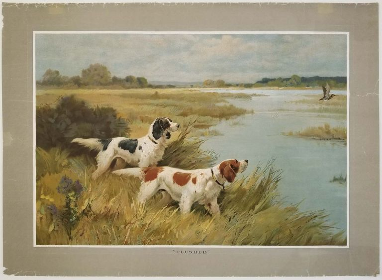 Flushed. DOGS - SPORTING - ENGLISH SETTERS.