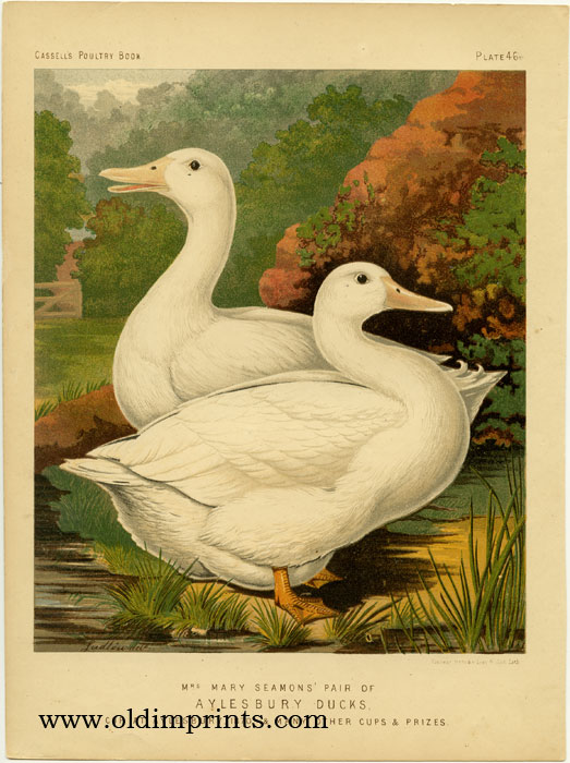 Mrs. Mary Seamons' Pair of Aylesbury Ducks, Cup at Aylesbury, 1870, & Many Other Cups & Prizes. CASSELL'S CHROMOLITHOGRAPHS.