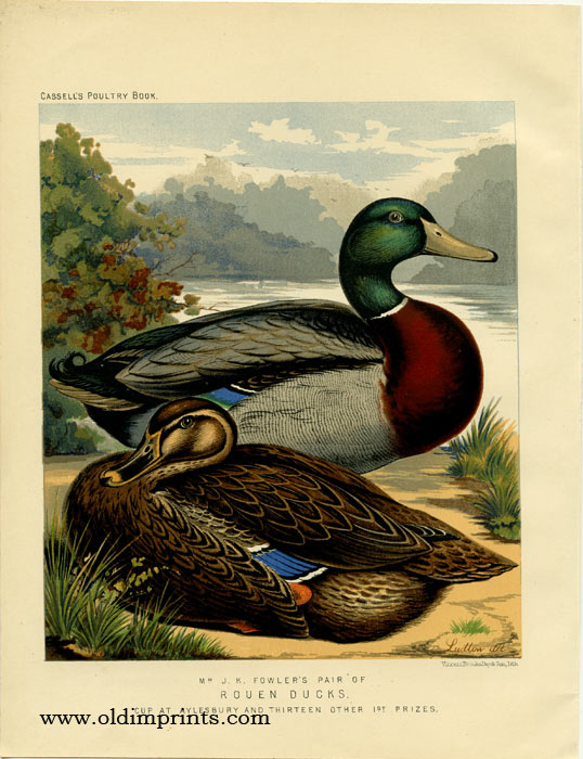 Mr. J. K. Fowler's Pair of Rouen Ducks. Cup at Aylesbury and Thirteen Other 1st Prizes. CASSELL'S CHROMOLITHOGRAPHS.