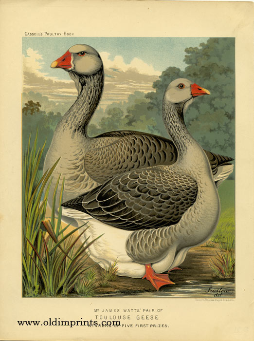 Mr. James Watts' Pair of Toulouse Geese Winners of Five First Prizes. CASSELL'S CHROMOLITHOGRAPHS.