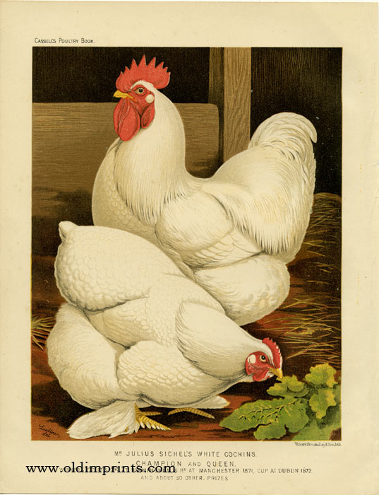 Mr. Julius Sichel's White Cochins. Champion and Queen. CASSELL'S CHROMOLITHOGRAPHS.