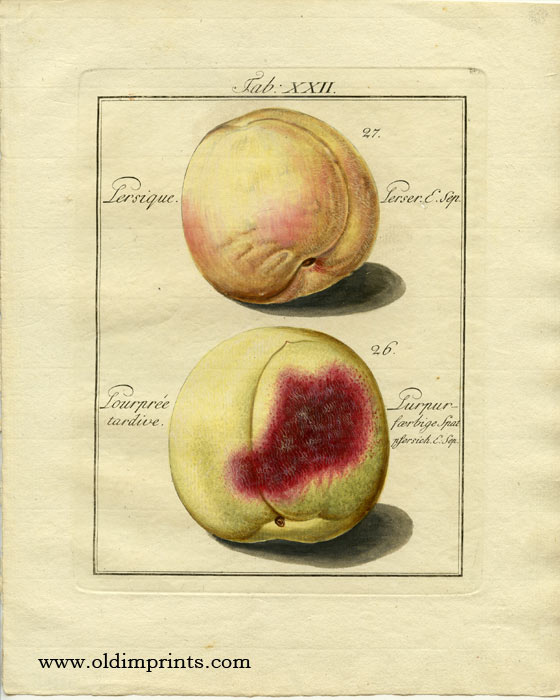 Persique. Perser. E. Sep. Pourpree tardive. Purpur - faerbige spat psersich. E. Sep. PEACH.
