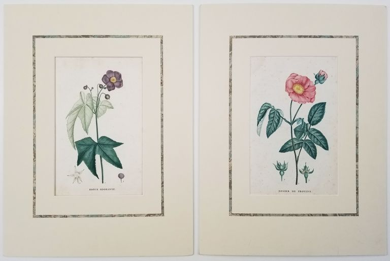 Rosier de Provins TOGETHER WITH Ronce Odorante. [ROSE & FLOWERING RASPBERRY STIPPLE]. TWO MATTED COLOR BOTANICALS 1809.