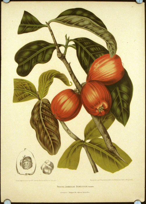 Fructus Jambosae Domesticae. [Malaysian Apple]. SOUTHEAST ASIA - ANTIQUE BOTANICAL.