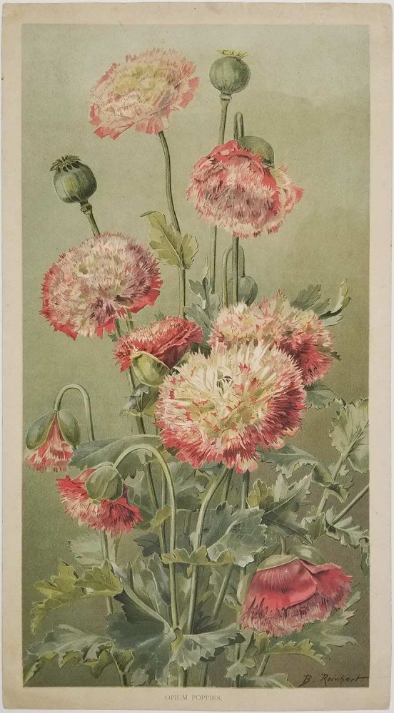 Opium Poppies. POPPY.