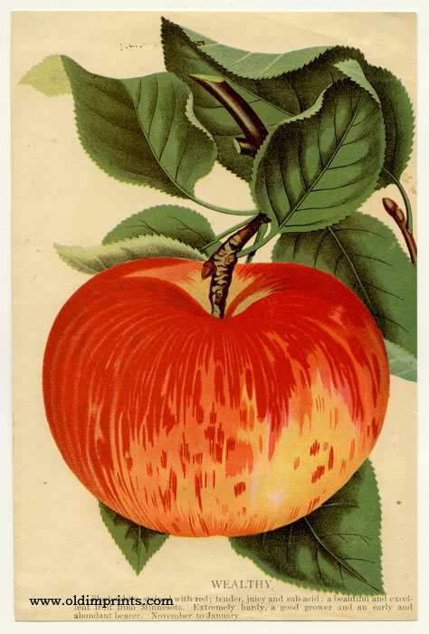 Wealthy (APPLE). CHROMOLITHOGRAPH - AMERICAN.