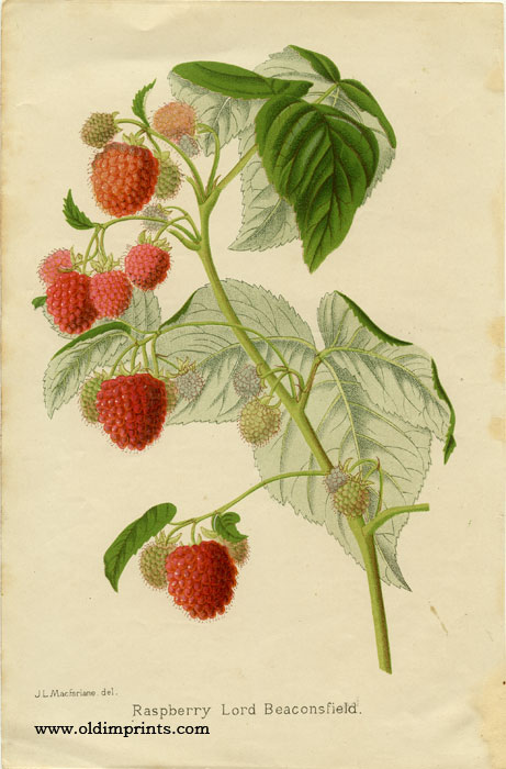 Raspberry Lord Beaconsfield. CHROMOLITHOGRAPH.