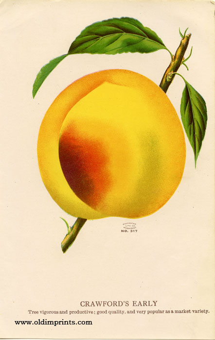 Crawford's Early (PEACH). CHROMOLITHOGRAPH - AMERICAN.