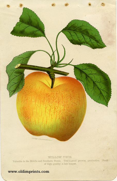 Willow Twig (APPLE). CHROMOLITHOGRAPH - AMERICAN.