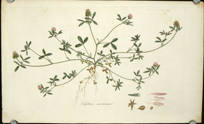 Trifolium maritimum. [Sea-side or Teasel-headed Trefoil.]