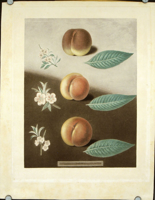 Plate XXX. [Millet's minion, Super royal and the Double swalsh peaches.] Aquatint from Pomona Britannica. BROOKSHAW - PEACHES.