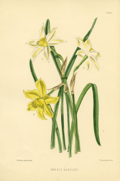 Hybrid Narcissi. 1875 COLOR LITHOGRAPH - DAFFODIL / NARCISSUS.