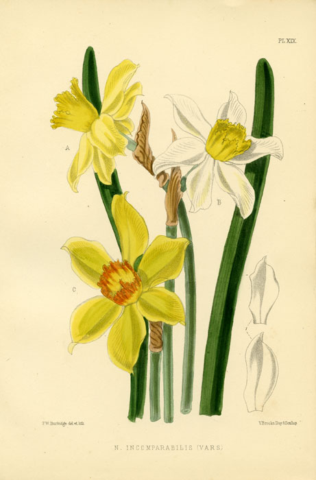 N. Incomparabilis (Vars). 1875 COLOR LITHOGRAPH - DAFFODIL / NARCISSUS.