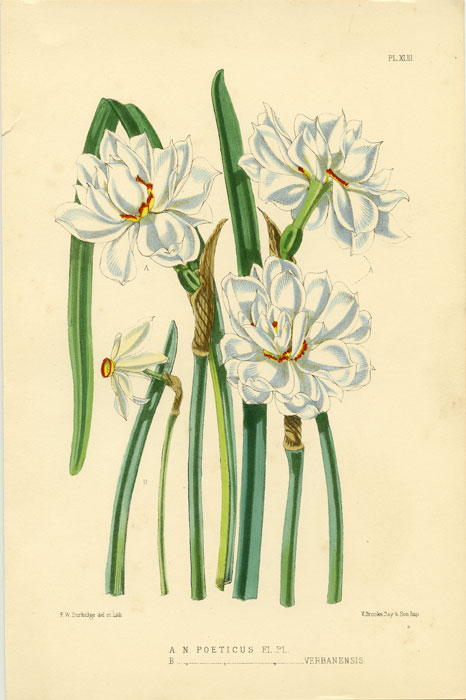 A. N. Poeticus Fl. Pl. B. N. Poeticus Fl. Pl. Verbanensis. 1875 COLOR LITHOGRAPH - DAFFODIL / NARCISSUS.