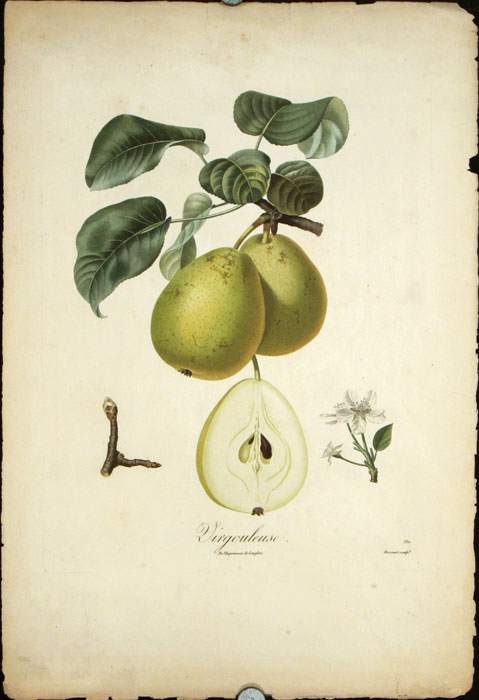 """Virgouleuse. (Color stipple engraving from """"Traite des Arbres Fruitiers""""). PEARS."""
