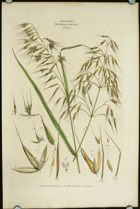 """Classis III. Ordo II. Triandria Digynia Avena. [Wild Oat]. (From John Miller """"An Illustration of the Sexual System of Linnaeus.""""). MILLER - LARGE HANDCOLORED ENGRAVING - 18TH CENTURY."""
