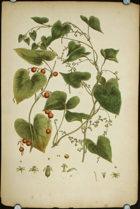 "[Untitled engraving of morning glory-like plant with fruit]. (From John Miller ""An Illustration of the Sexual System of Linnaeus.""). MILLER - LARGE HANDCOLORED ENGRAVING - 18TH CENTURY."