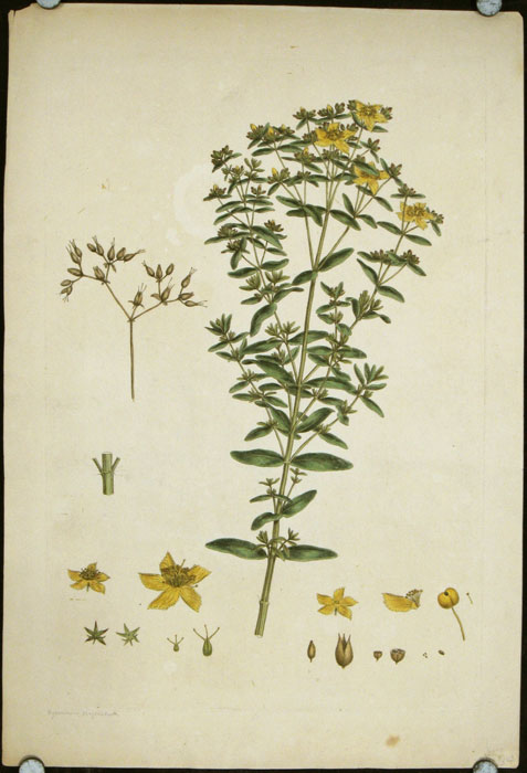 "Untitled print of St. John's Wart [Hypericum perforatum]. (From John Miller ""An Illustration of the Sexual System of Linnaeus.""). MILLER - LARGE HANDCOLORED ENGRAVING - 18TH CENTURY."