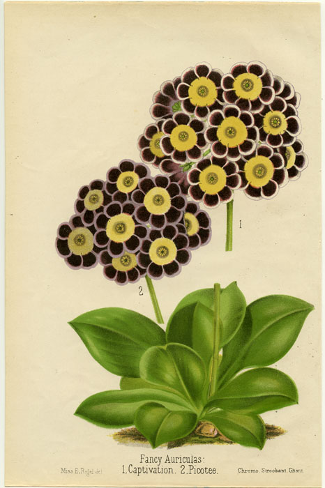 Fancy Auriculas: 1. Captivation. 2. Picotee. AURICULA.