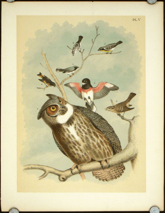 Great Horned Owl, The Rose-breasted Grossbeak, The American Red Start, The Black-throated Blue Warbler. OWLS - CHROMOLITHOGRAPH.