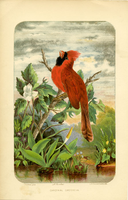 Cardinal Grosbeak. AMERICAN BIRDS.