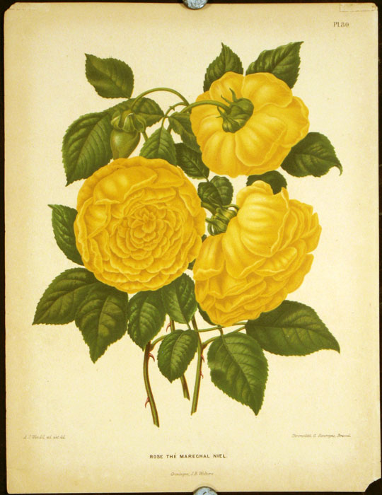 Rose the Marechal Niel. CHROMOLITHOGRAPH - NETHERLANDS.