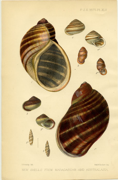 New Shells from Madagascar and Australasia. SEA SHELLS.