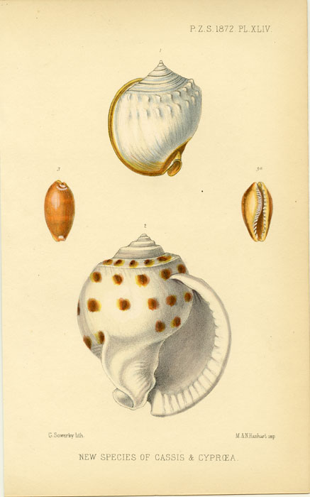 New Species of Cassis & Cypraea. SEA SHELLS.