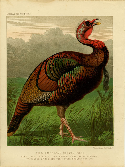 Wild American Turkey Cock. Sent Over Specially For Portraiture by Mr. Simpson. Treasurer of the New-York State Poultry Society. CASSELL'S CHROMOLITHOGRAPHS.