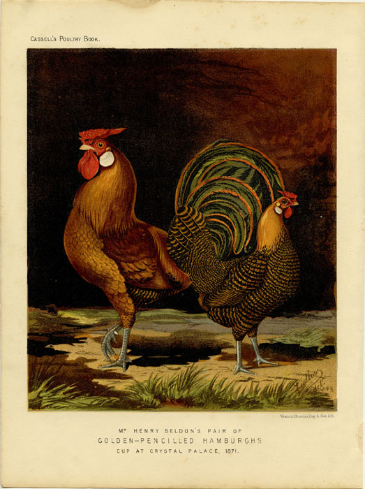 Mr. Henry Beldon's Pair of Golden-Pencilled Hamburghs, cup at Crystal Palace, 1871. CASSELL'S CHROMOLITHOGRAPHS.