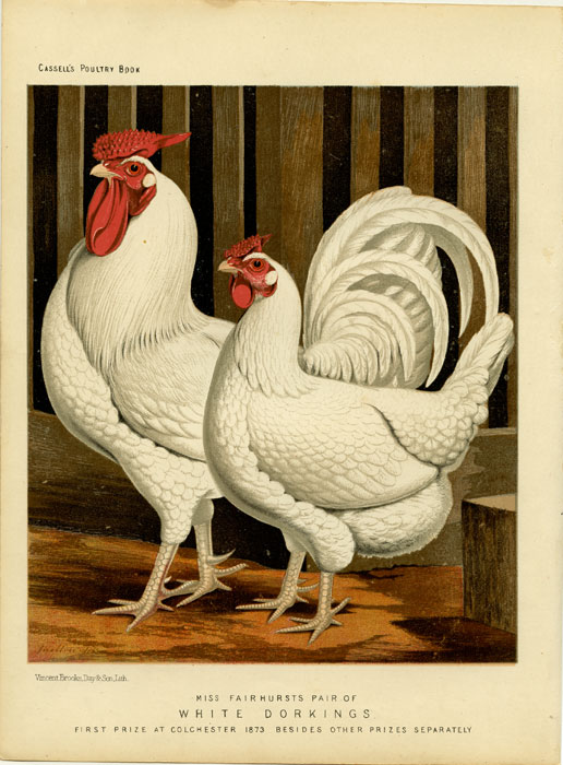 Miss Fairhursts Pair of White Dorkings. First Prize at Colchester 1873 Besides Other Prizes Separately. CASSELL'S CHROMOLITHOGRAPHS.