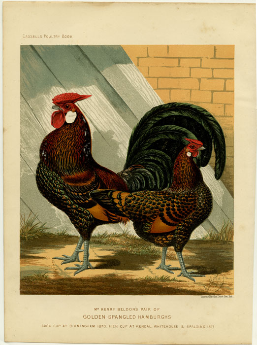 Mr. Henry Beldon's Pair of Golden Spangled Hamburghs. Cock Cup at Birmingham 1870, Hen Cup at Kendal, Whitehouse & Spalding 1871. CASSELL'S CHROMOLITHOGRAPHS.