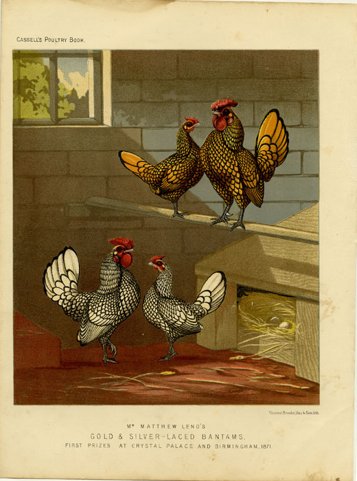 Mr. Matthew Leno's Gold & Silver-Laced Bantams, First Prizes at Crystal Palace and Birmingham, 1871. CASSELL'S CHROMOLITHOGRAPHS.
