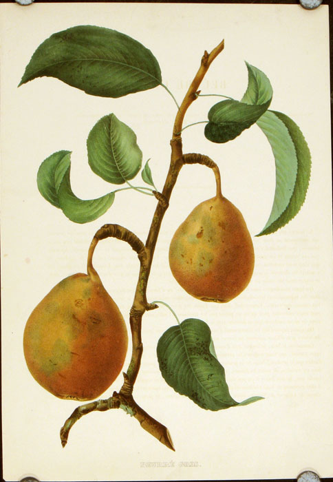 Beurre Gris. PEARS - HANDCOLORED BOTANICAL LITHOGRAPH.