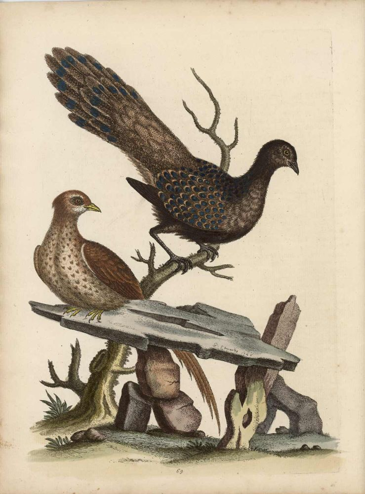 The Hen Peacock Pheasant, from China. EDWARDS - EIGHTEENTH CENTURY COPPERPLATE ENGRAVINGS.