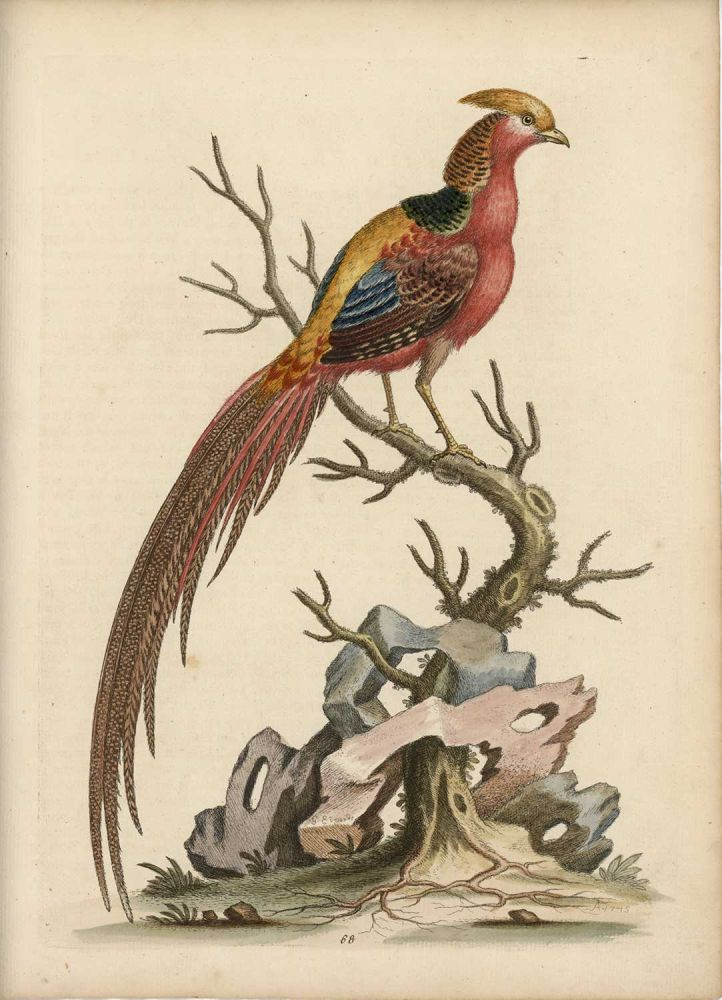 The Painted Pheasant, from China. EDWARDS - EIGHTEENTH CENTURY COPPERPLATE ENGRAVINGS.