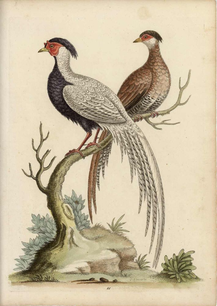 The Black and White Chinese Cock Pheasant, with its Hen. EDWARDS - EIGHTEENTH CENTURY COPPERPLATE ENGRAVINGS.