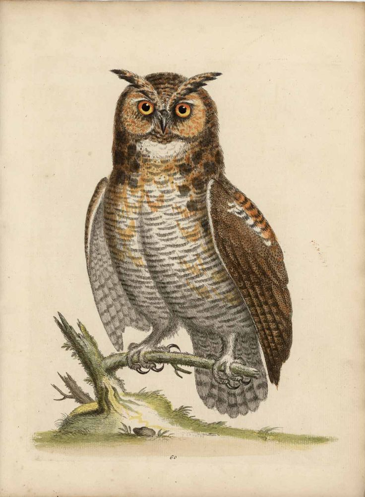 The Great Horned Owl. EDWARDS - EIGHTEENTH CENTURY COPPERPLATE ENGRAVINGS.
