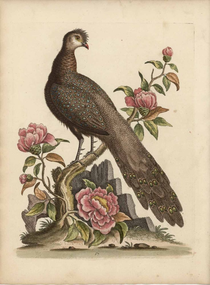The Peacock Pheasant from China. EDWARDS - 1700s BIRD ENGRAVING.