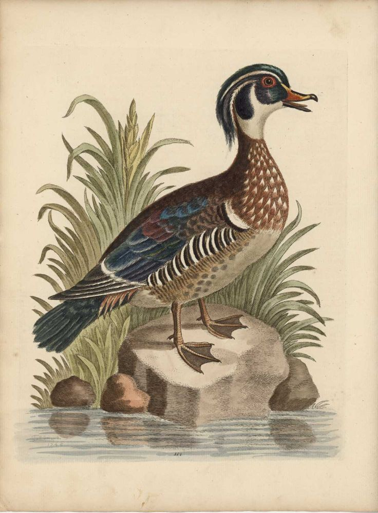 The Summer Duck of Catesby. EDWARDS - EIGHTEENTH CENTURY COPPERPLATE ENGRAVINGS.