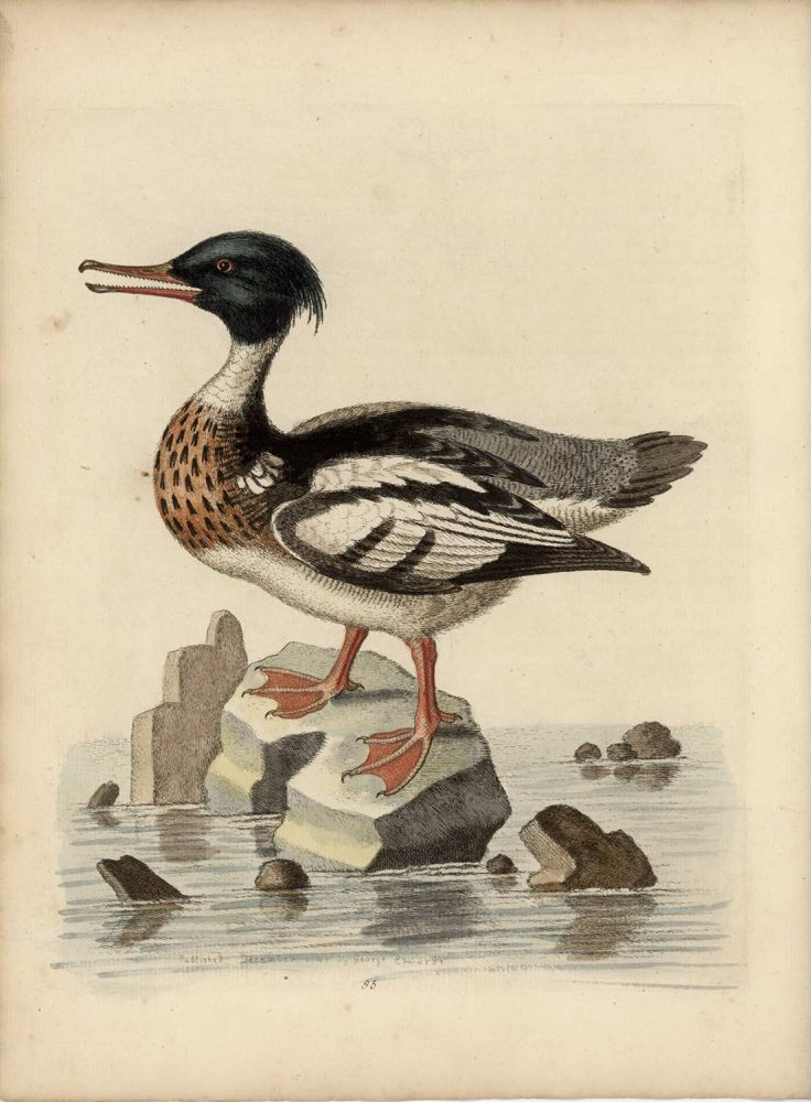 The Red-Breasted Goosander. EDWARDS - EIGHTEENTH CENTURY COPPERPLATE ENGRAVINGS.