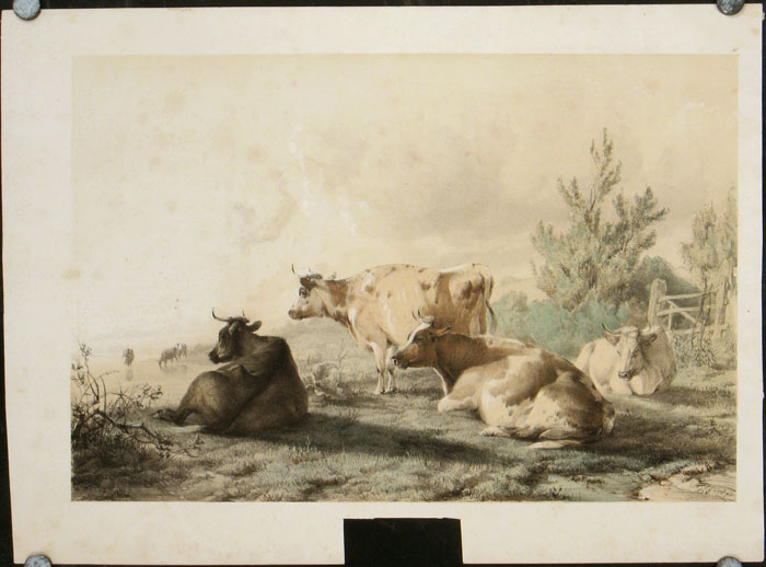 Group of Cattle. COWS.