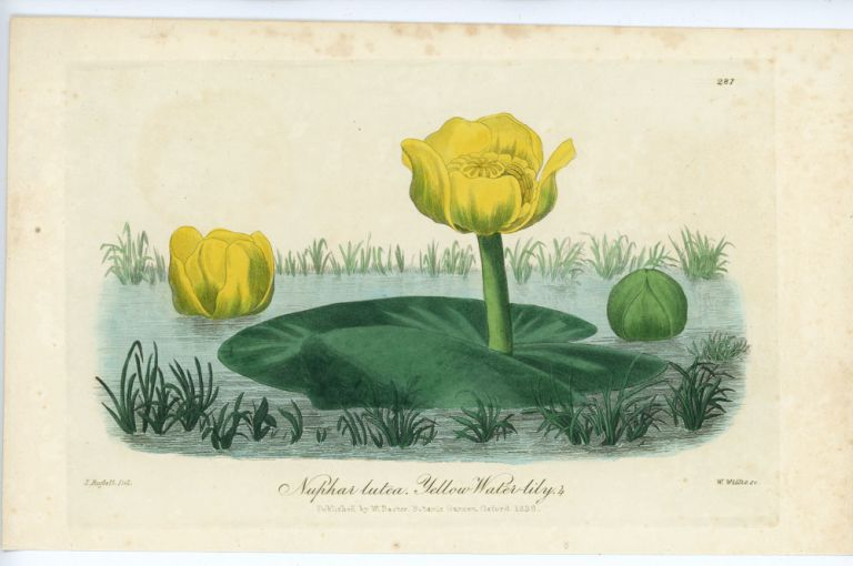 Nuphar lutea. Yellow Water-lily. WATERLILY, W. Baxter.