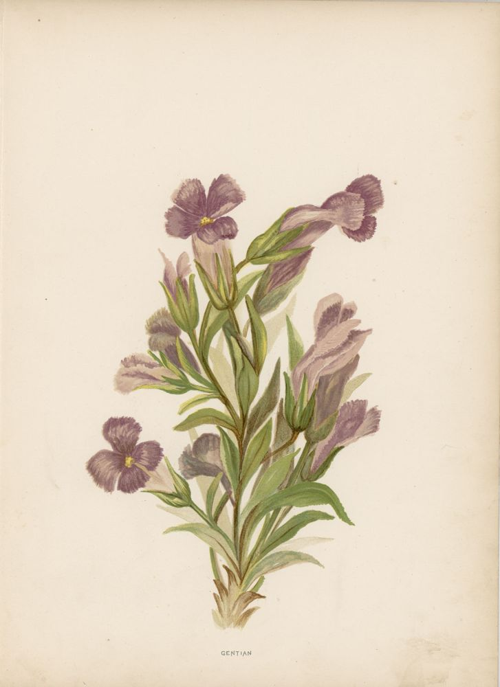 Gentian. [Chromolithograph from Wildflowers of the Rocky Mountains]. GENTIAN.