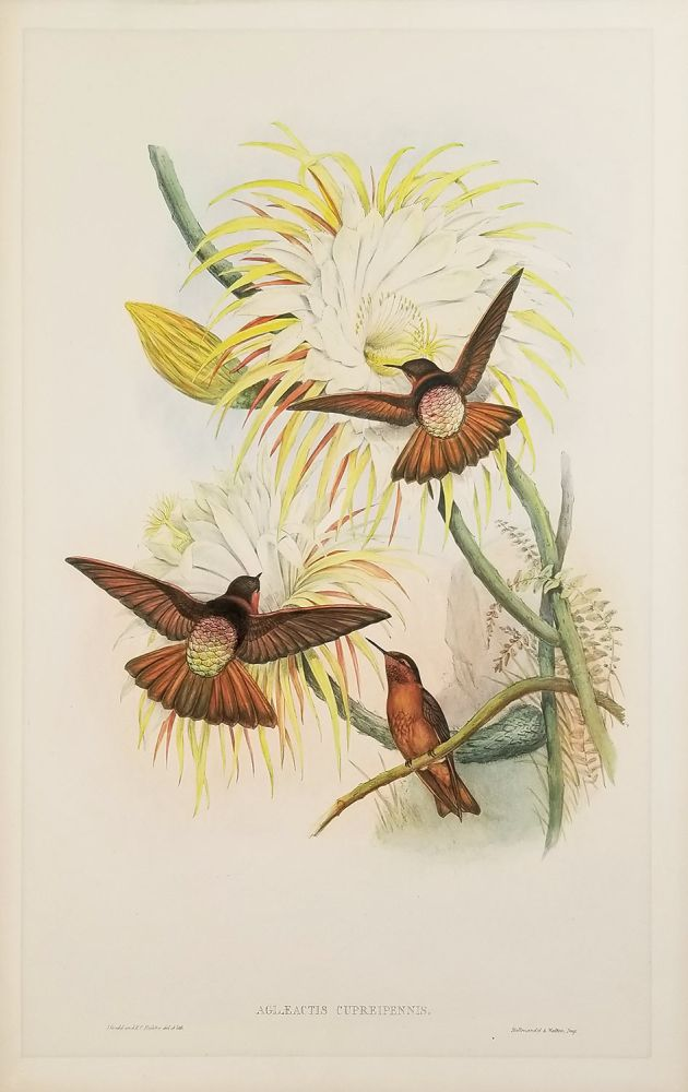 Aglaeactis Cupreipennis. [ANTIQUE BIRD PRINT]. HUMMINGBIRDS.