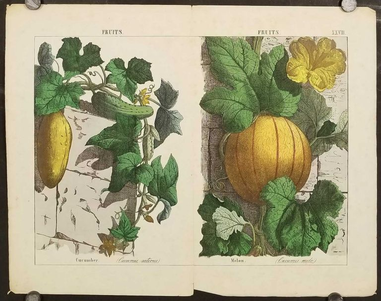 Fruits. Cucumber (Cucumis sativus) Melon. (Cucumis melo). [Double page from The Instructive Picturebook or Lessons from the Vegetable World]. VEGETABLES, FRUIT.