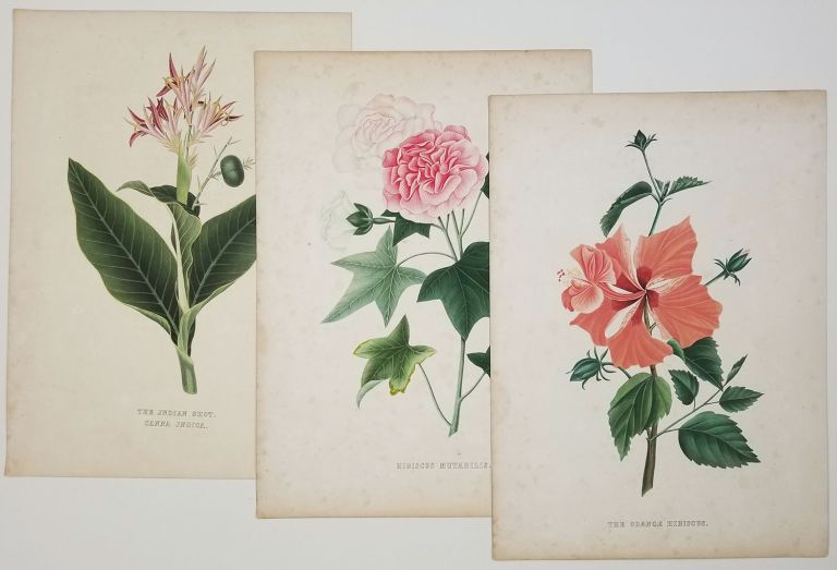 Hibiscus Mutabilis. The Orange Hibiscus. The Indian Shot Canna Indica. [THREE COLOR LITHOGRAPH ANTIQUE BOTANICAL PRINTS]. TROPICAL FLOWERS.