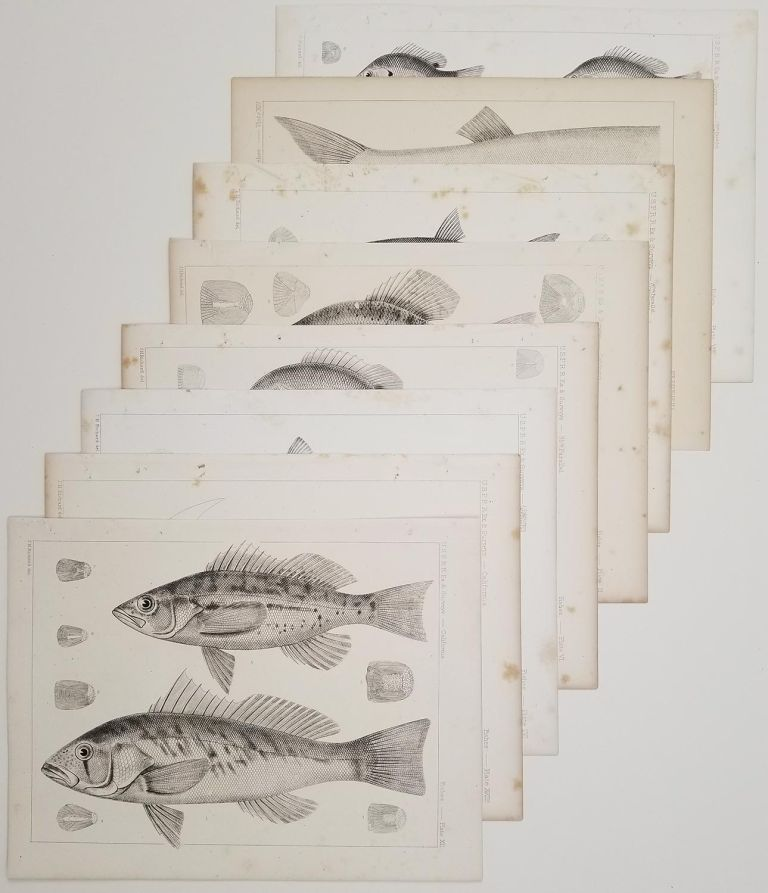 GROUP OF EIGHT lithographs of fish from the United States Pacific Railroad Reports of Explorations and Surveys.[Vintage Pacific Railroad Survey Lithograph]. FISH LITHOGRAPHS / CALIFORNIA / SOUTH EAST UNITED STATES.